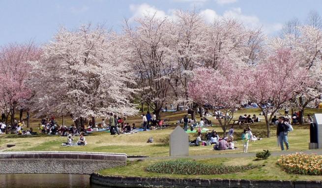 11 e1334490994767 Japán cseresznyefa virágzás