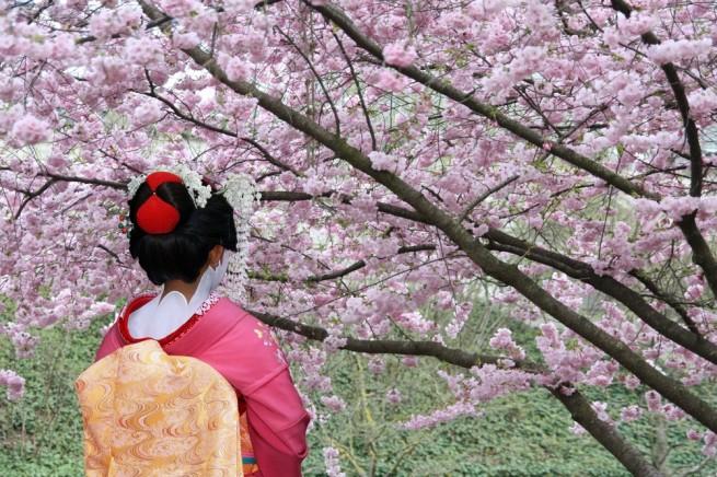 13334673271898903109 e1334490249568 Japán cseresznyefa virágzás