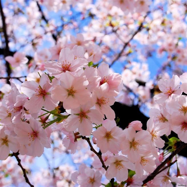 16235 2592x2592 e1334490903755 Japán cseresznyefa virágzás