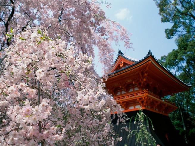 Cherry Blossoms Ninnaji Temple Kyoto Japan e1334494997141 Japán cseresznyefa virágzás