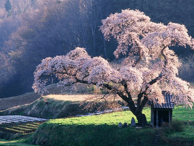 Cherry blossom Tree in Misty Morning Japanese Blossoming cherry tree 1152x864 e1334491174432 Japán cseresznyefa virágzás