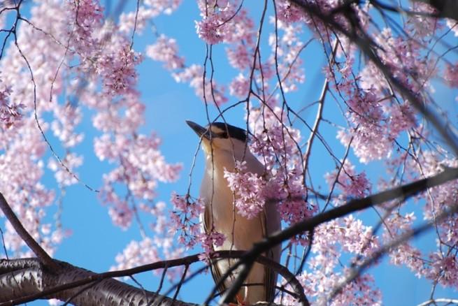 bird on cherry tree e1334490367998 Japán cseresznyefa virágzás